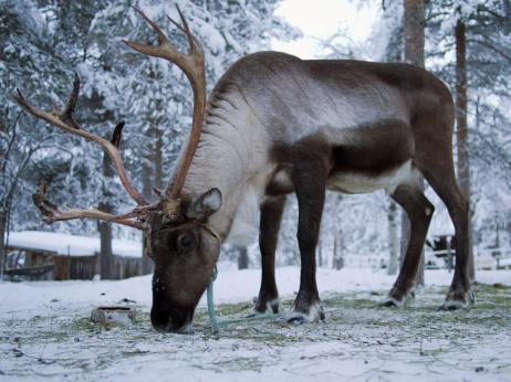 2013 02 12 a P2123065 Reindeer